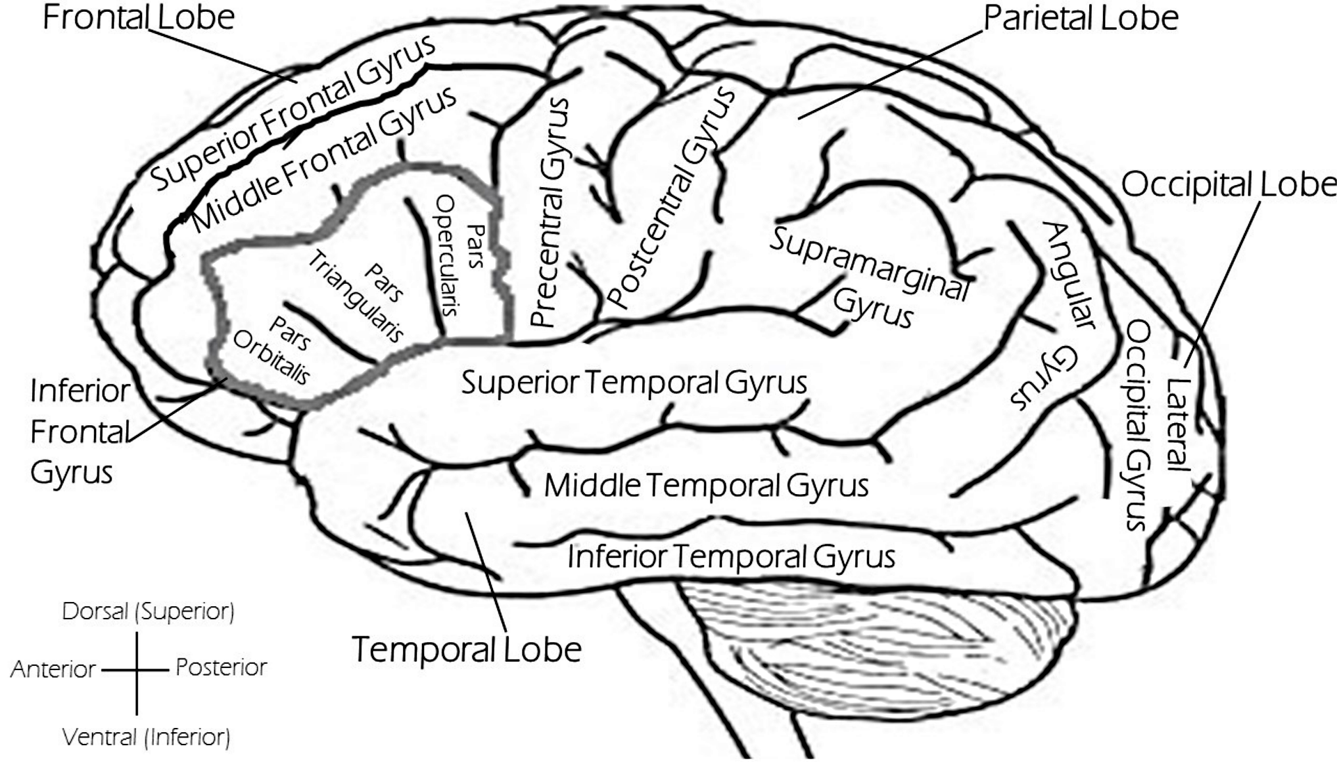 Diagram of brain